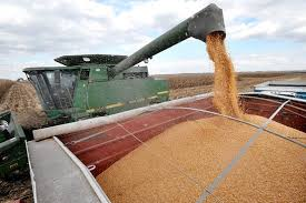 Governo aprova importação de milho transgênico