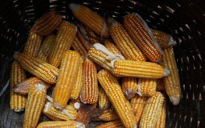 Projeto da ASA e Embrapa abre caminho para criação de sistema de monitoramento da contaminação do milho crioulo