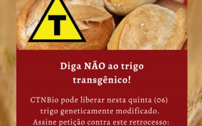 Sem debate público e por meio de processo irregular, Brasil pode liberar trigo transgênico nesta quinta-feira